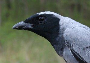 coracina_novaehollandiae_black-faced_cuckoo-shrike_620b.jpg